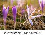 crocus violet in spring with...   Shutterstock . vector #1346139608