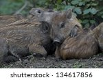 Piglets Of Wild Boar Sleeping...