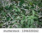 close up silkworm eating... | Shutterstock . vector #1346320262