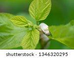 close up silkworm eating... | Shutterstock . vector #1346320295