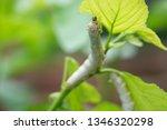 close up silkworm eating... | Shutterstock . vector #1346320298