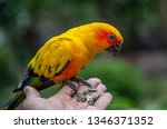 sun conure parrot eating seed... | Shutterstock . vector #1346371352