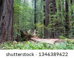 beautiful forest of giant... | Shutterstock . vector #1346389622