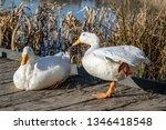 White Duck Stretching Orange...