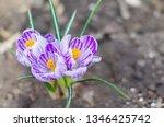 purple primroses spring...   Shutterstock . vector #1346425742