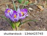 honey bee on spring flower....   Shutterstock . vector #1346425745
