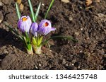 purple primroses spring...   Shutterstock . vector #1346425748