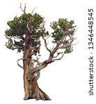 Bristlecone Pine. Old Pine Tree ...