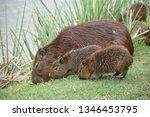 capybara rodent animal family | Shutterstock . vector #1346453795