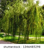 close up of weeping willow tree ... | Shutterstock . vector #1346485298