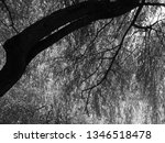 close up of weeping willows... | Shutterstock . vector #1346518478