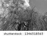 close up of weeping willows... | Shutterstock . vector #1346518565