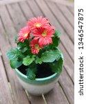 gerbera plant with flowers in... | Shutterstock . vector #1346547875