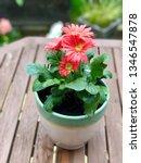 gerbera plant with flowers in... | Shutterstock . vector #1346547878
