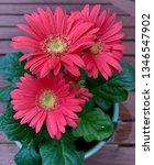 gerbera plant with flowers in... | Shutterstock . vector #1346547902