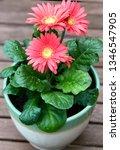 gerbera plant with flowers in... | Shutterstock . vector #1346547905