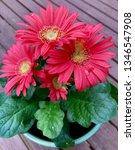 gerbera plant with flowers in... | Shutterstock . vector #1346547908