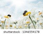 Bumblebee  Sitting On Camomiles....