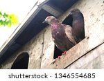 pigeons and their extended... | Shutterstock . vector #1346554685