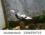 pigeons and their extended... | Shutterstock . vector #1346554715