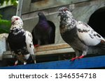 pigeons and their extended... | Shutterstock . vector #1346554718
