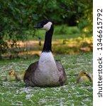 mother goose with goslings | Shutterstock . vector #1346615792