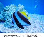 moorish idol fish swimming in... | Shutterstock . vector #1346649578