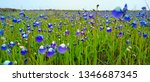 Small photo of blue flower field on hill during one spring morning