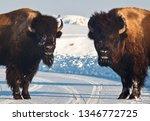 Two Buffaloes Guarding Snow...