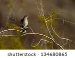 Small photo of White-winged Dove at dawn at Anza-Borrego State Park in California