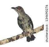 Small photo of Juvenile Metallic Starling - Aplonis metallica - Isolated on white