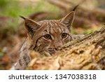Eurasian lynx. lynx lynx, hidden behind fallen tree peeking out. Endangered wild predator with stealthy look. Animal on a hunt.