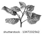 it is the common the common ivy.... | Shutterstock .eps vector #1347232562