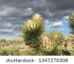 joshua tree blooms | Shutterstock . vector #1347270308