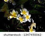 spectacular fragrant  pure ... | Shutterstock . vector #1347450062