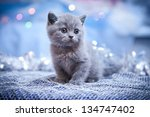 Stock photo british kitten christmas and new year 134747402