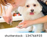 Stock photo grooming maltese dog 134766935