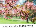 cherry blossom flowers  sakura... | Shutterstock . vector #1347867692