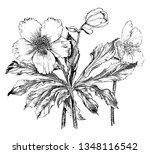 helleborus niger commonly... | Shutterstock .eps vector #1348116542