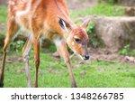 A Baby Sitatunga Antelope  Also ...
