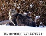 a pretty young norwegian forest ... | Shutterstock . vector #1348275335