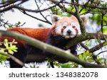 An Adult Red Panda  Ailurus...