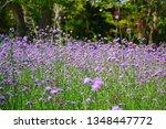 close up of verbena flowers...   Shutterstock . vector #1348447772