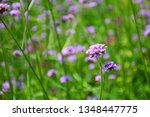 close up of verbena flowers...   Shutterstock . vector #1348447775