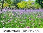 close up of verbena flowers...   Shutterstock . vector #1348447778