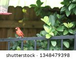 red male northern cardinal... | Shutterstock . vector #1348479398