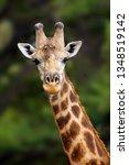 the south african giraffe ... | Shutterstock . vector #1348519142