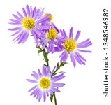 Alpine Aster Isolated On White...
