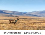 Lonely Reindeer In The Tundra....