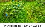 Close Up Three Leaf Clovers...